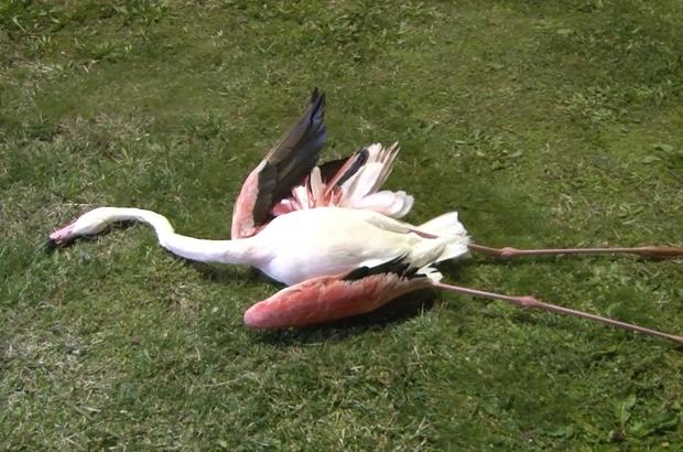 Bayraklı Sahili'nde 9 flamingo telef olmuş şekilde bulundu